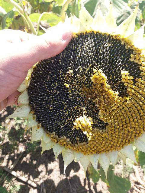 Семена подсолнечника ЕС ФЛОРИМИС под Евролайтнинг, Купить подсолнечник под Евролайтинг Флоримис