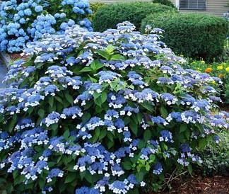 Гортензія пильчаста Bluebird 2 річна, Гортензия пильчастая Блубьорд, Hydrangea serrata Bluebird