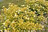 Пухироплідник калинолистий Dart's Gold 2 річний Пузыреплодник калинолистный Дартс Голд physocarpus opulifolius, фото 3