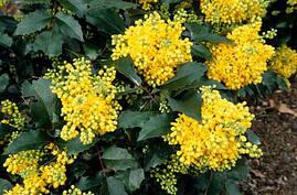 Магонія падуболистна 3 річна, Магония падуболистная, Mahonia aquifolium, фото 2