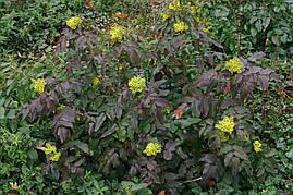 Магонія падуболистна 3 річна, Магония падуболистная, Mahonia aquifolium, фото 3