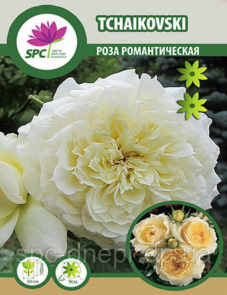 Роза романтическая Tchaikovski, фото 2