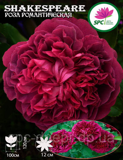Роза романтическая William Shakespeare 2000