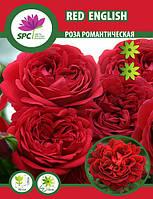 Роза романтическая Red  English