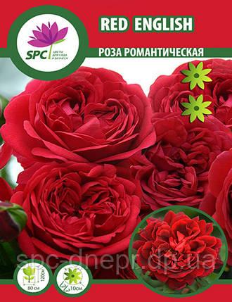 Роза романтическая Red  English, фото 2