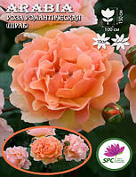 Роза романтическая(шраб) Arabia