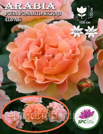 Роза романтическая(шраб) Arabia, фото 2