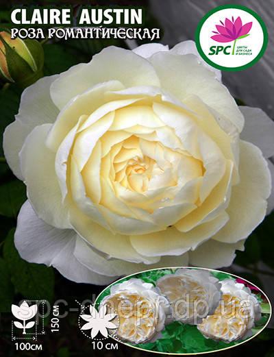 Роза романтическая Claire Austin
