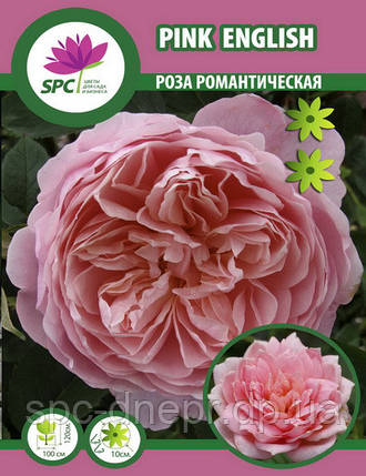 Роза романтическая Pink English, фото 2