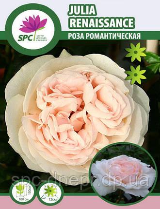 Роза романтическая(шраб) Julia Renaissance, фото 2