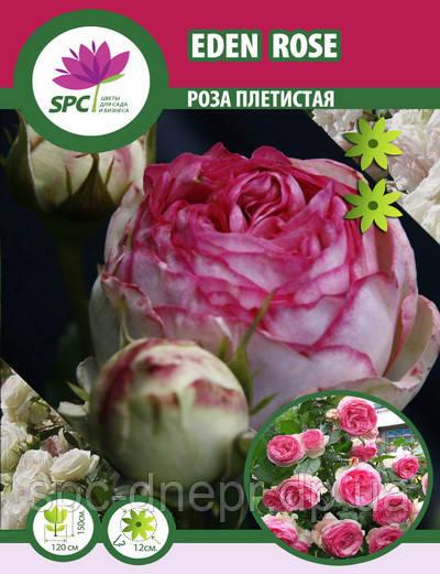 Роза романтическая EdenRose