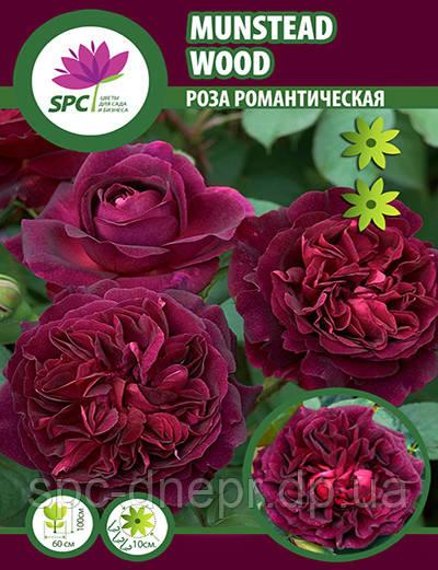 Роза романтическая Munstead Wood