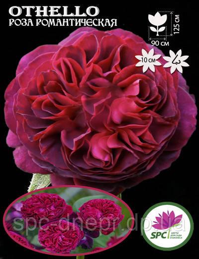 Роза романтическая Othello