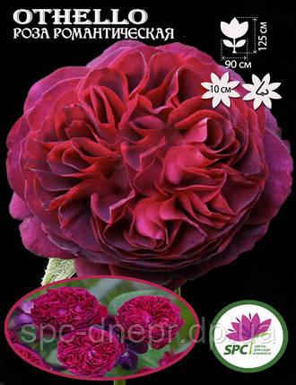 Роза романтическая Othello, фото 2