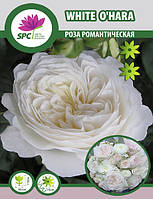 Роза романтическая White O'hara