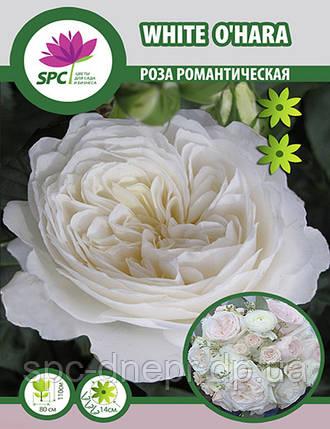 Роза романтическая White O'hara, фото 2
