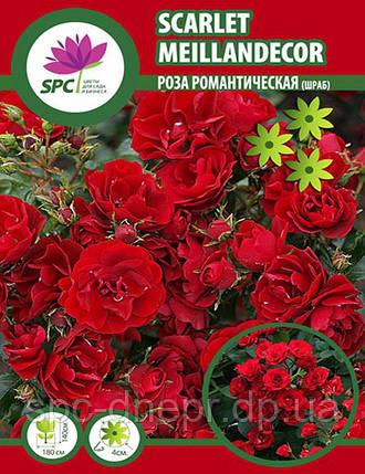 Роза романтическая(шраб) Scarlet Meillandecor, фото 2