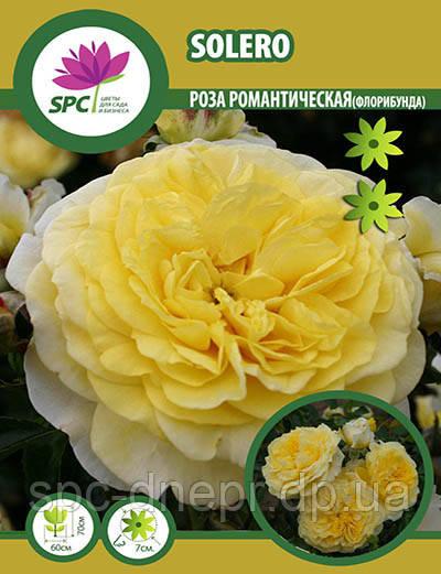 Роза флорибунда Solero