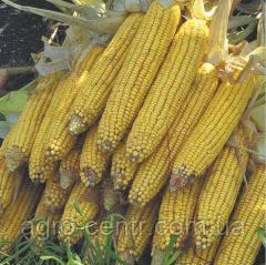 Семена кукурузы Аджамка (ФАО 310)