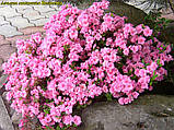 Азалия японская Rosinetta, фото 4