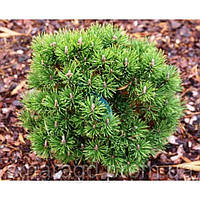 Сосна горная Грюн Кугел - Pinus mugo Grune Kugel