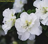 Азалія японська Schneeperle (Снігова перлина) 3год, фото 2