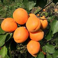 Саджанці абрикосу Ледана, фото 1