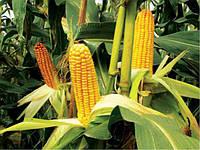 Семена кукурузы ТАР 349 МВ ФАО 290