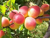 Саджанці абрикосу Червонощокий (Сheeked)