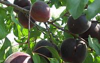 Саджанці абрикосу Чорний Принц (Шлор Циран)