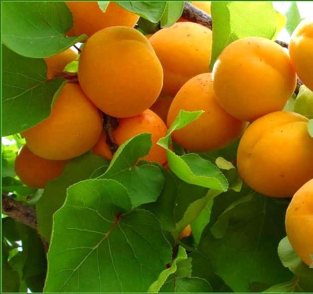 Саджанці абрикосу Монастирський