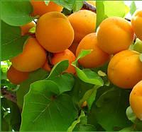 Саджанці абрикосу Монастирський, фото 1
