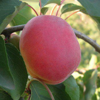 Саджанці абрикосу Особливий Денесюка