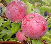 Яблоня ФЛОРИНА (Florina) , фото 1