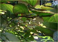 Актинидия Коломикта (мужское растение) - 1 летние саженцы