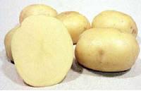 Картопля насіннєва Ред Скарлет, Сіфра, Моцарт 1 репродукція