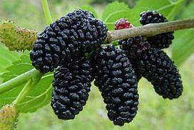 Саджанці чорної шовковиці Шеллі (привита)