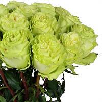 Роза Лимонад 80 см