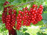 Смородина красная Валентиновка 1 летки ( саженцы )