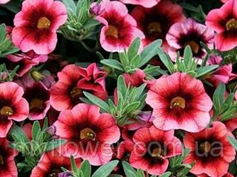 Калибрахоа - миллион цветов в Вашей корзине