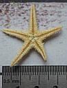 Ракушка морская звезда 3-4 см, фото 2