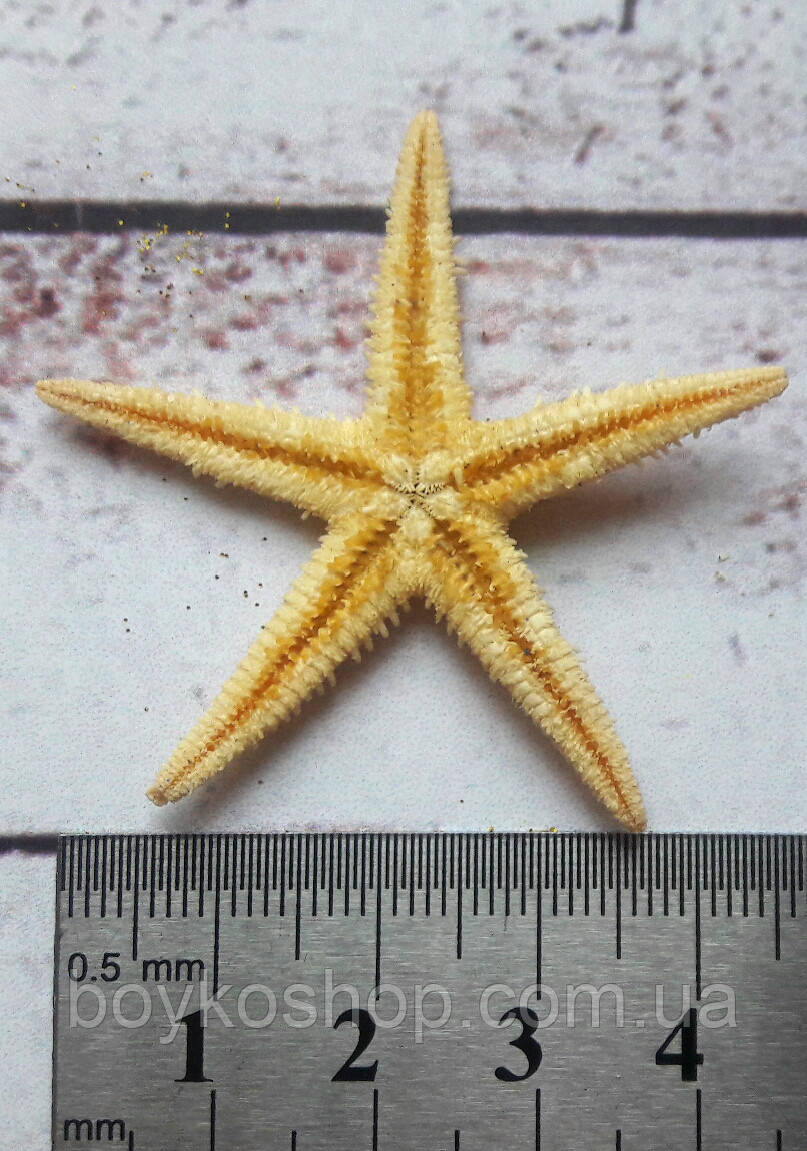 Ракушка морская звезда 3-4 см