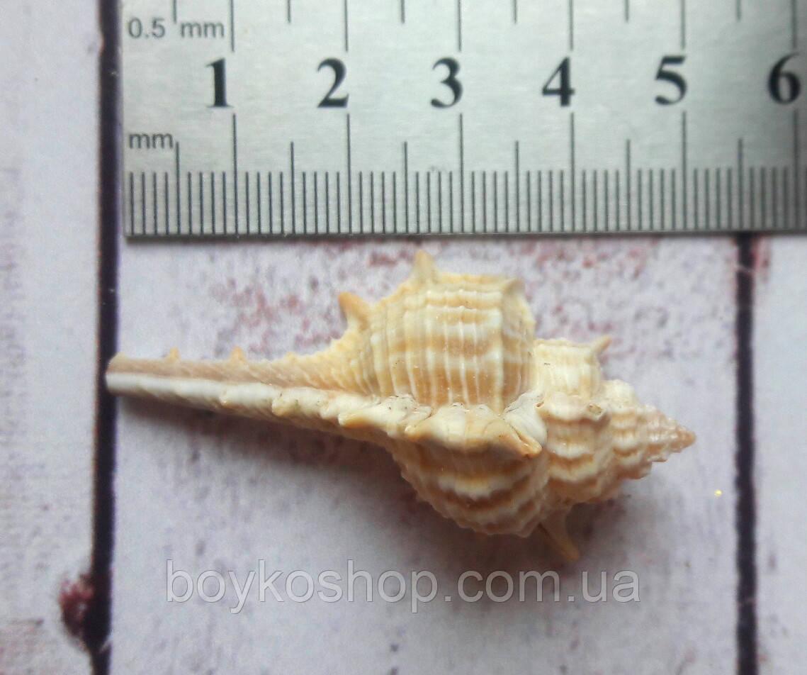 Ракушка мурекс трибулет 4-5 см