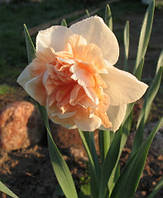 Нарцисс махровый Flower Surprise