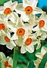 Нарцисс многоцветковый Geranium