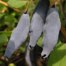 """Саженцы жимолости """"Голубое веретено"""" 3-летняя плодоносящая выкопная с упакованной корневой"""