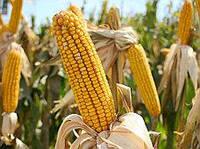 Семена кукурузы Даниил (АК Степова)