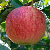 Саженцы яблони КОНФЕТНОЕ (двухлетний) летнего срока созревания