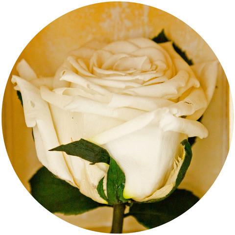 Вечные розы Белый бриллиант