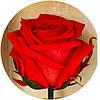 Вечные розы Алый рубин, фото 3